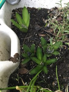 Hyacinths in Growth